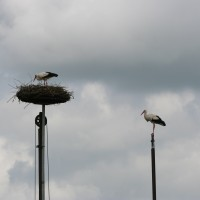 Ooijevaar op nest en paal